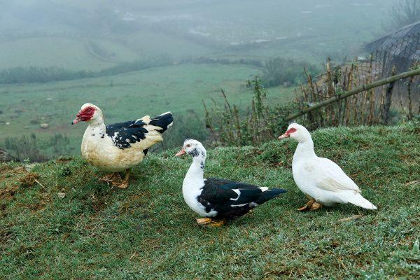 Three little ducks